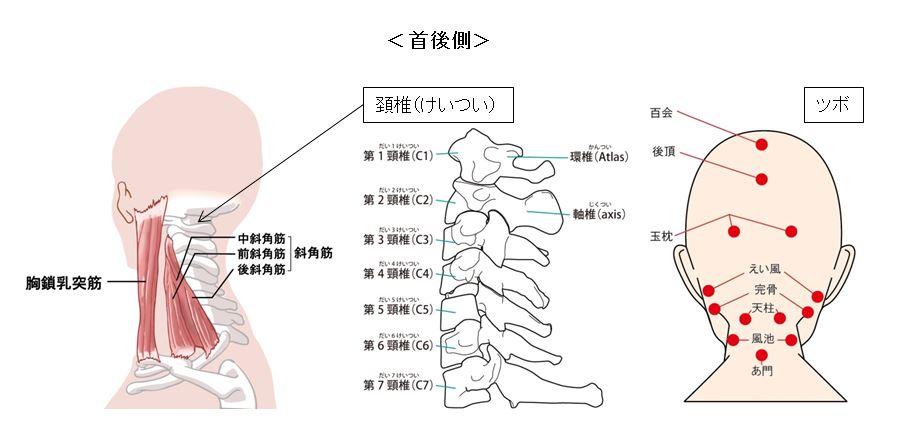 頚椎、首の後ろ側には、重要な機能が集中し腸内環境にも影響を及ぼします。