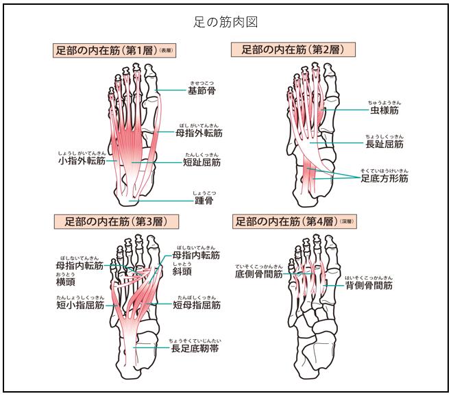 足の筋肉図