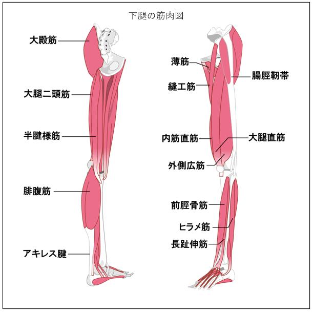 下腿の筋肉図