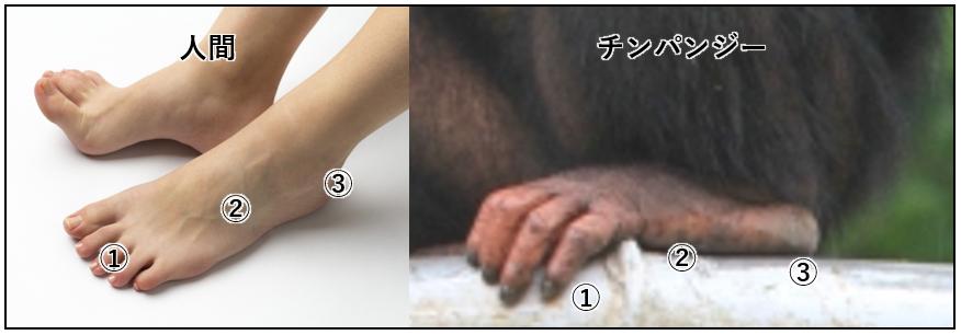足指・踵部 比率比較