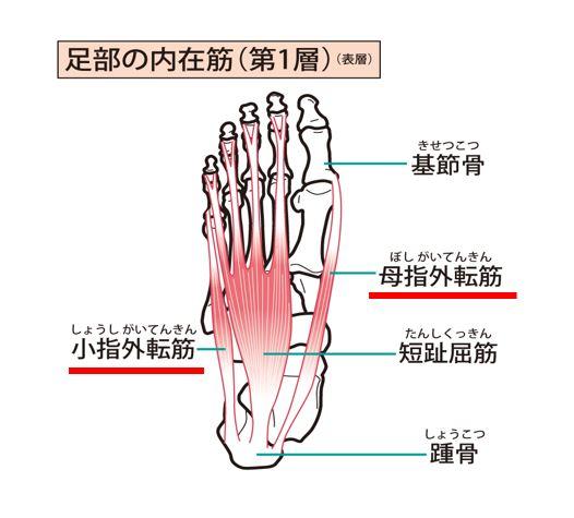 母趾(母指)外転筋から小趾(小指)外転筋
