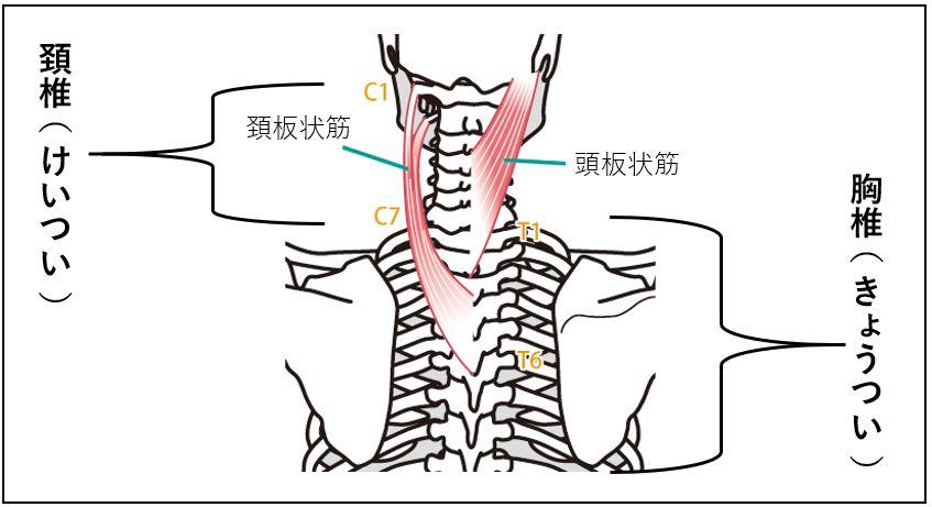 首回り筋肉の頚椎・胸椎との繋がり
